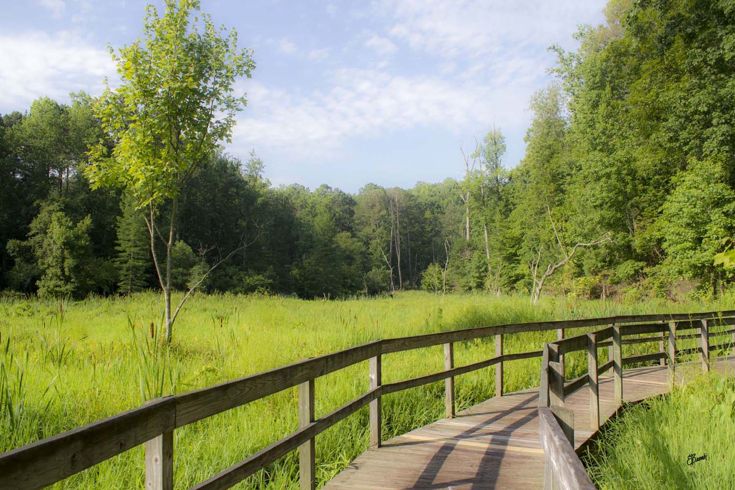 Image is of a wooden boardwalk trail that turns to the right. The rails are farm fence style. It is summer and the boardwalk is surrounded in cattails and there are green trees in the distance. The sky is blue with some white clouds.