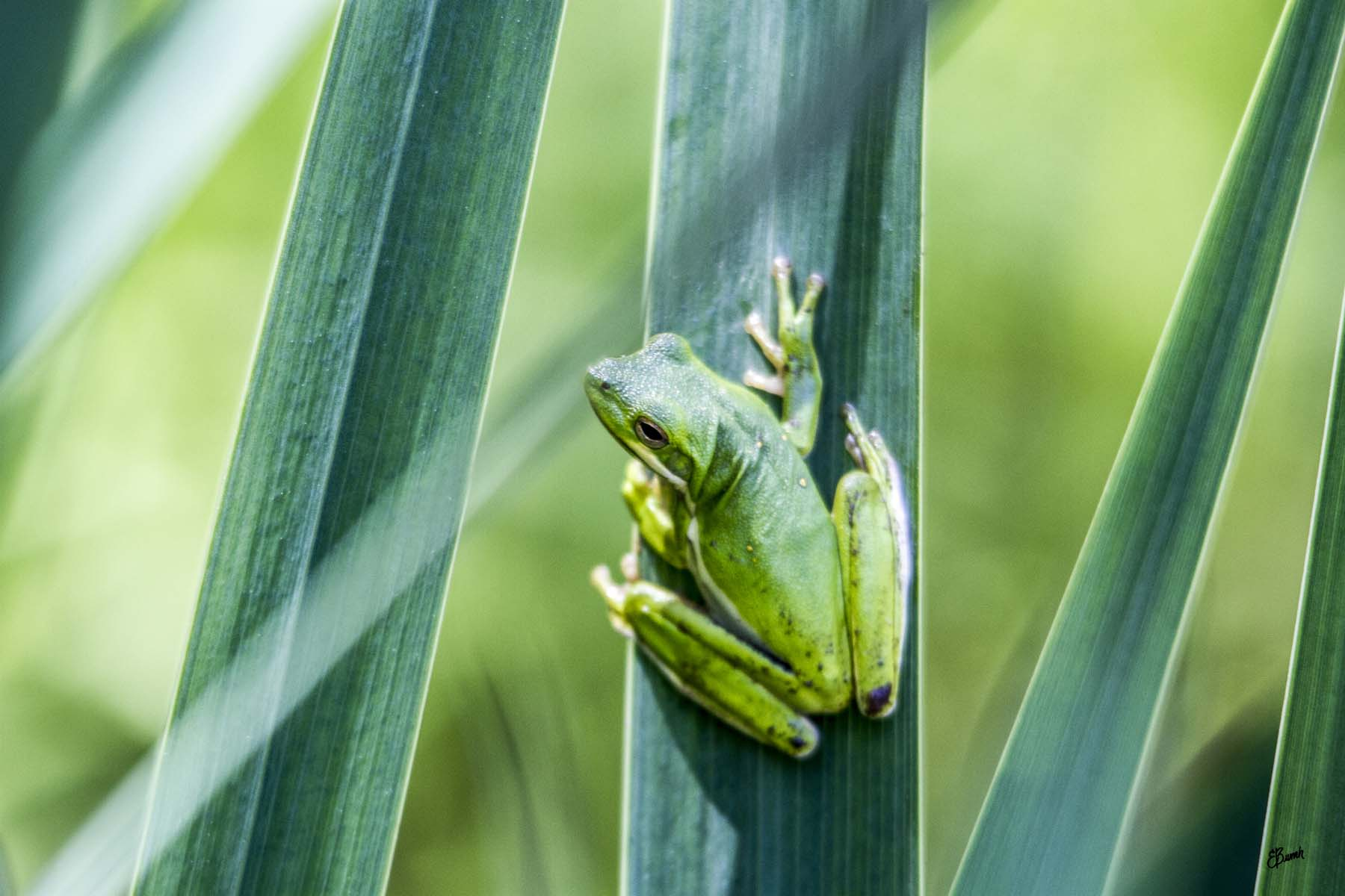 This image is of a green treefrog sitting on an iris leaf. They are looking left and back. They are bright green with small yellow spots on their back and a tan stripe down the side.